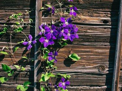 Sichtschutz, Pflanzen, Clematis, Holzwand, Foto: iStock / suteishi