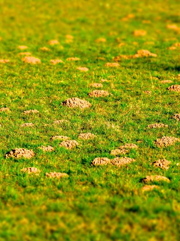 Wühlmaushügel, Maulwurf vertreiben, Garten, Foto: focus finder / fotolia.com