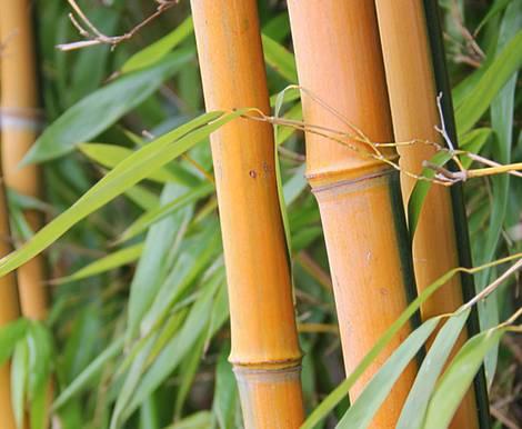 Parkett aus Bambus