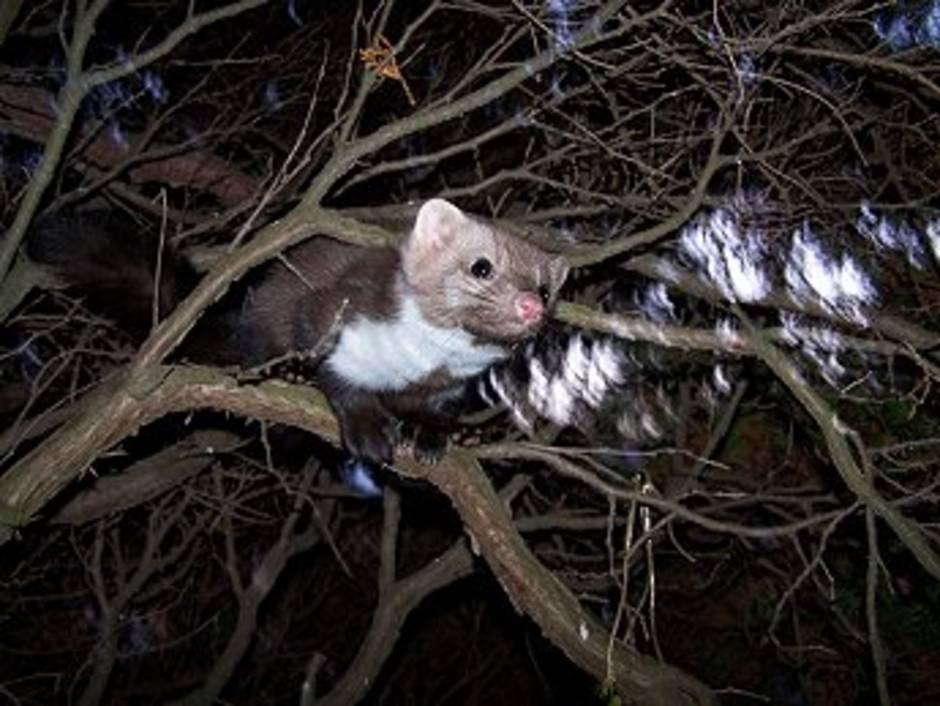 Marder, Baum. Foto: marderhilfsnetz.de