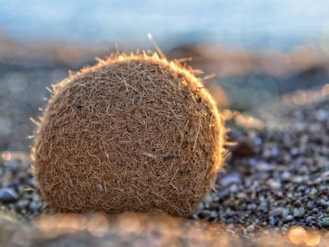 ökologische Dämmstoffe, Seegras, ein Seegrasball am Meeresufer, Foto: fotolia.de / meerblick09