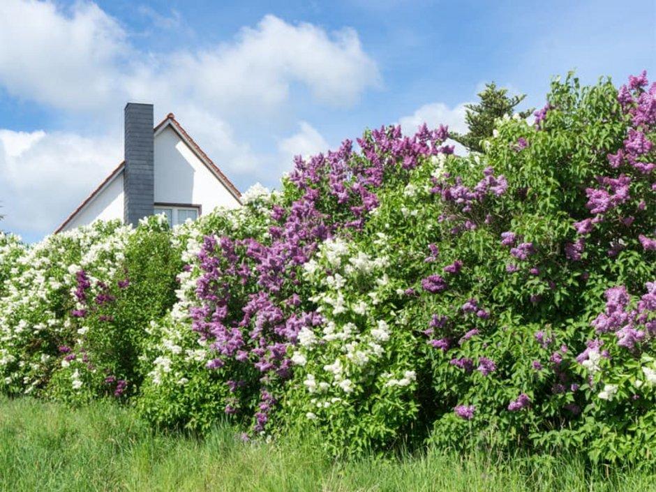 Sichtschutz, diche Hecke aus Fliederbüschen, Foto: tl6781 / stock.adobe.com