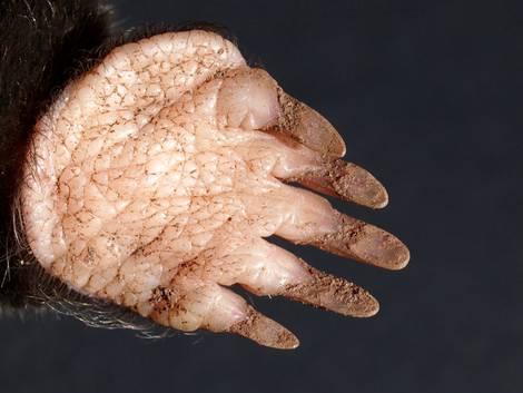 Maulwurfpfote, Maulwurf verjagen, Foto: Pixelmixel / fotolia.com