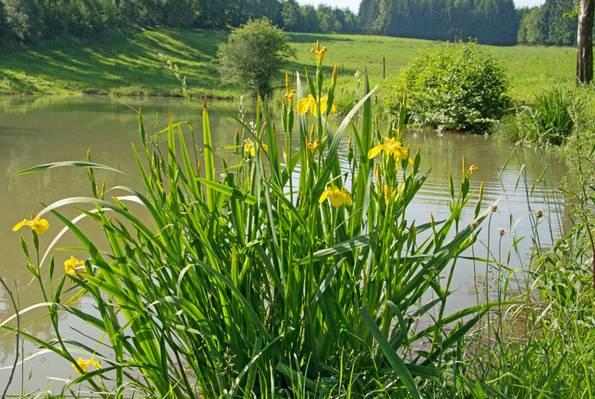 Schwertlilie, naturnaher Garten, Foto: M. Schuppich / fotolia.com