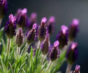 Steingarten, Lavendel, Foto: Dr.Cross / Wikimedia Commons