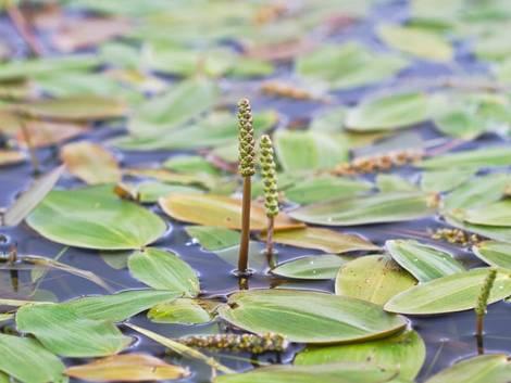 Glänzendes Laichkraut in einem Teich.