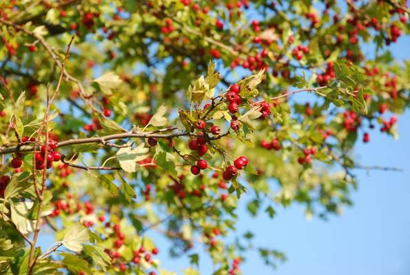 Weißdorn, naturnaher Garten, Foto: vaslex /fotolia.com
