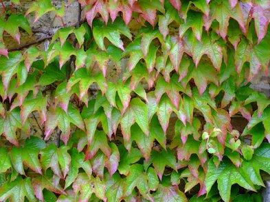 Sichtschutz, Pflanzen, Wilder Wein, Foto: Erik / stock.adobe.com
