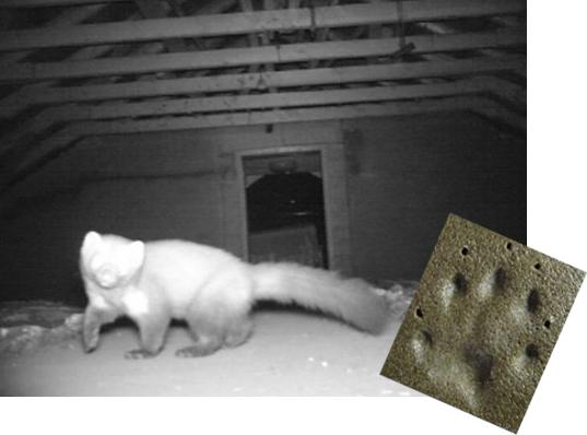 Den Marder Auf Dem Dachboden Wieder Loswerden Bauende
